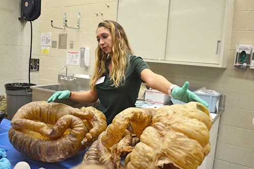 Vet Med student Hailey Houdek explains to open house visitors about Horses' intestines.