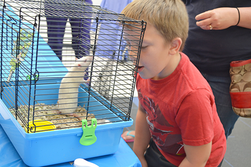 A young visitor gets to get up close and personal with a rat at the Vet Med Open House.