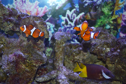 Every aquarium, including the one on the second floor of the VET Med Basic Sciences Building, should have some clownfish—a nod to Nemo and his dad!