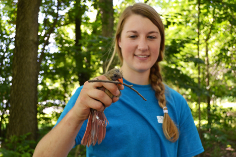 Allison Moran holds a female cardinal who has a stick tightly clamped in its beak to ensure that it doesn't clamp onto her finger.