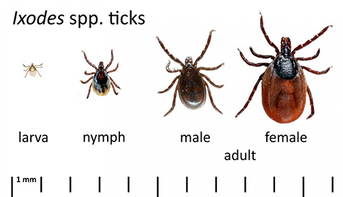 Ticks in their various stages of life.